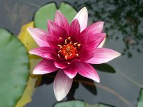 Mynd-lotus-flower-3093072__340