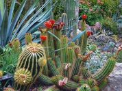 mynd-pexels-photo-256355-kaktusar
